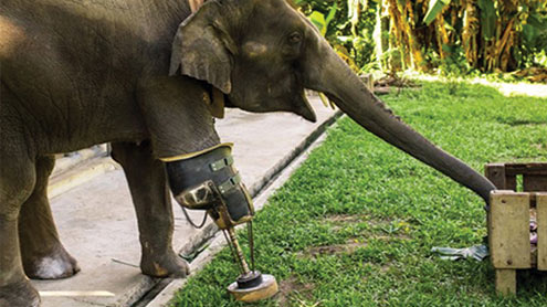 1409744 74277761 - تھائی لینڈ :مصنوعی ٹانگ کے ذریعے چلنے والا ہاتھی توجہ کا مرکز