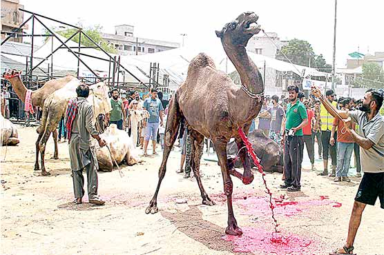 اہلحدیث مساجد میں اونٹ  کی اجتماعی قربانی آج ہو گی
