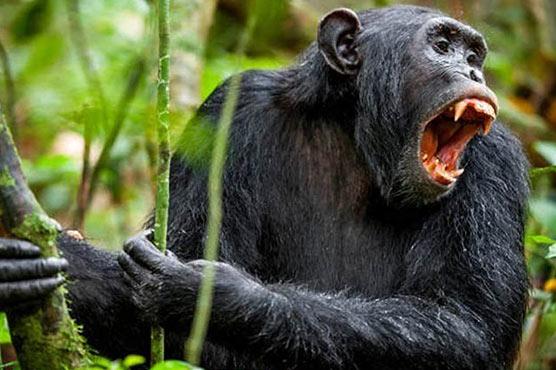 جرمنی میں چمپانزیوں کے گوریلا پر حملے کا پہلا واقعہ ریکارڈ