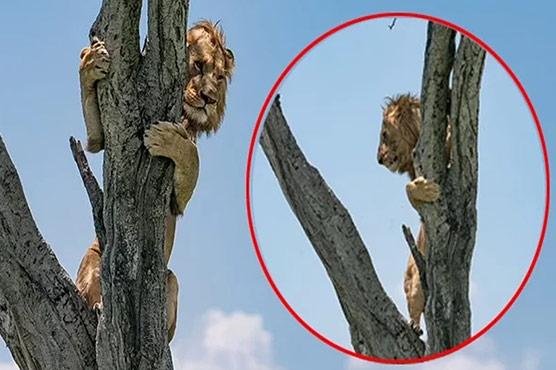 ببر شیر جنگلی بھینسوں کے خوف سے درخت پر چڑھ گیا