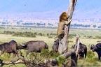 جنگلی بھینسوں سے ڈرے شیروں کو ''چوڑیاں'' پہننے کامشورہ