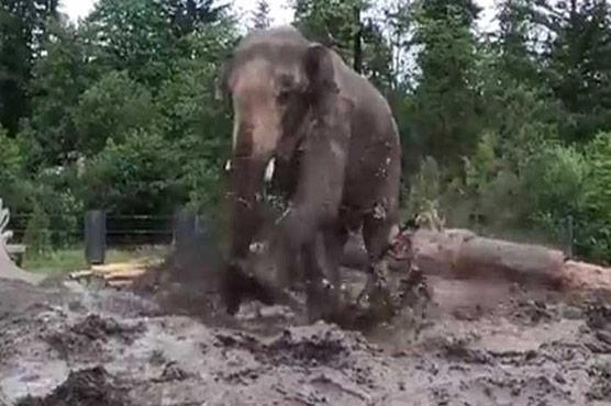 ہاتھی کیچڑ اور مٹی کے گارے میں خوش رہتے ہیں