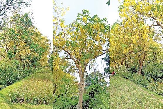 سڑکوں،پارکوں میں املتاس کے زرد رنگ بکھر گئے