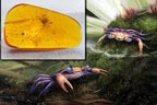 عنبر کے ٹکڑے میں دس کروڑ سال قدیم کیکڑا دریافت