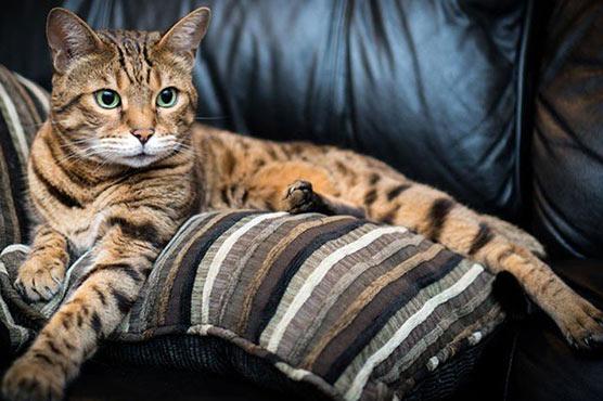 بلیوں میں بھی 7مختلف طرح کی شخصیت ہوتی ہے :تحقیق