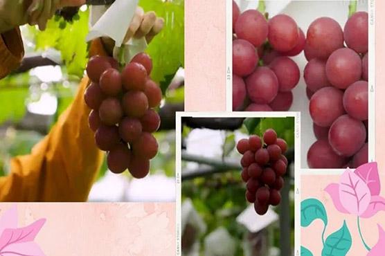 لگژری انگور، ایک گچھے کی قیمت 76 ہزار سے زائد