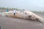30 ٹن وزنی مردہ وہیل ساحل پر آگئی، ویڈیو وائرل