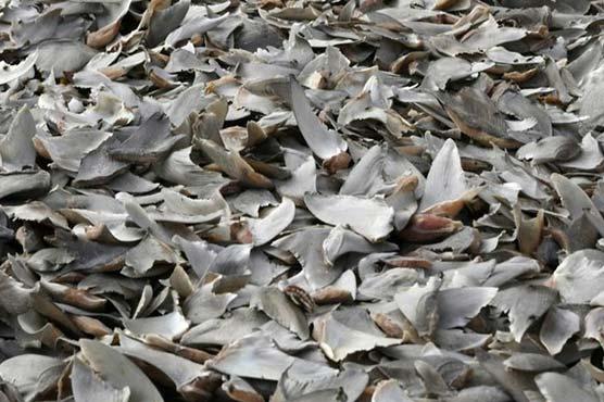 شارک کے تین ہزار پروں کو سمگل کرنے کی کوشش ناکام
