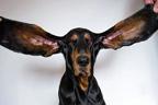 کتا لمبے کانوں کی وجہ کی سے ریکارڈزکی کتاب میں آگیا